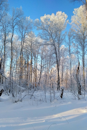 The Snow White Birch Forest Covered With Hoarfrost.