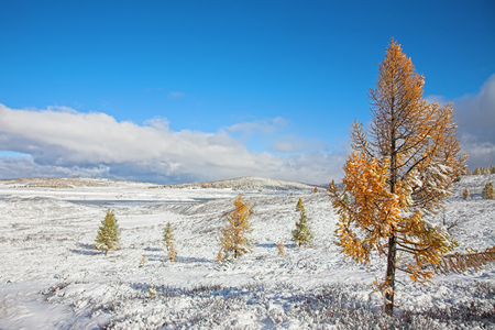 Landscape in mountain Altai - the first snow in the autumn. Snow covered yellow larch trees.