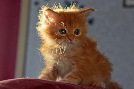 Playfull and Cute Maine Coon Kitten