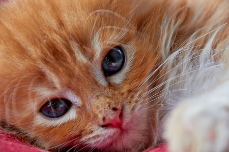Closeup photo of resting maine coon kitten