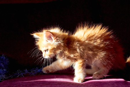 Playful and Cute Maine Coon Kitten
