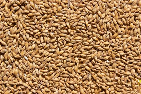 Golden ripe barley grains for planting close background texture