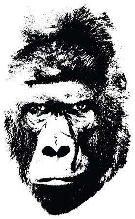 gorila: ejemplo de la cara de gorila en el fondo blanco