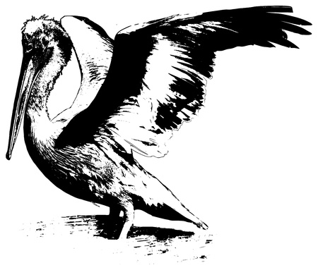 Black and white illustration of a pelican