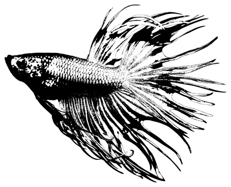 betta: photo of fighting fish, betta splendens