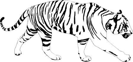 silueta tigre: ilustración de un tigre en el fondo blanco