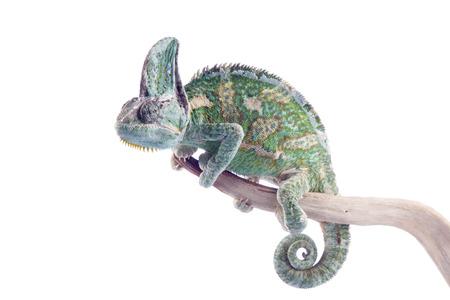 Chamaeleo calyptratus - veiled chameleon 版權商用圖片