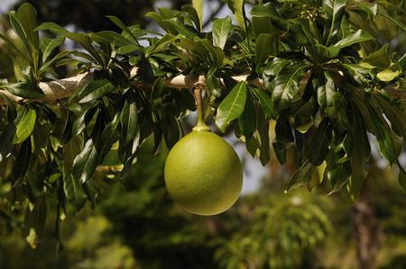 Calabash fruit, crescentia cujete