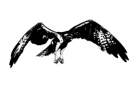 subspecies: Oprey raptor in flight - Pandion haliaetus - American subspecies Stock Photo