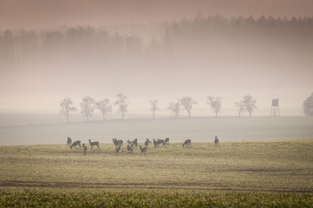 roe deer: Roe deer in the meadow with misty forest Stock Photo