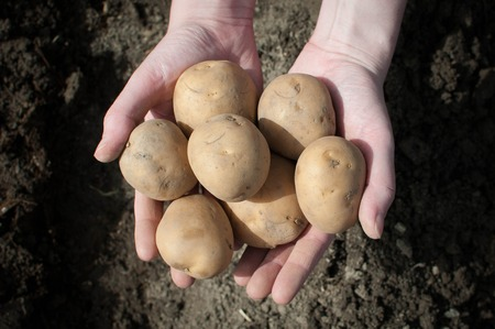 potatoes in the palms