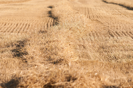 Field after harvest with straw