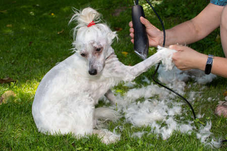 Grooming a white dog with a razor