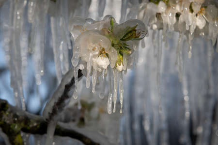 cherry blossom covered with ice after a cold spring night