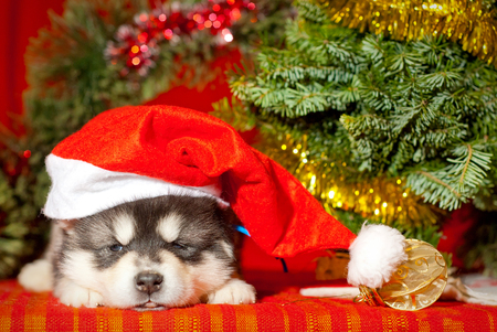 Malamute puppy with a yellow ribbon is sitting on a red background, Santa Claus gift for the new year