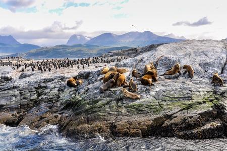 beagle: A big group of seals and sea lions, Beagle Channel, Ushuaia, Argentina Stock Photo