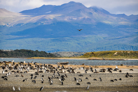 penguin colony: Penguin Colony in the Beagle Channel, Ushuaia, Argentina