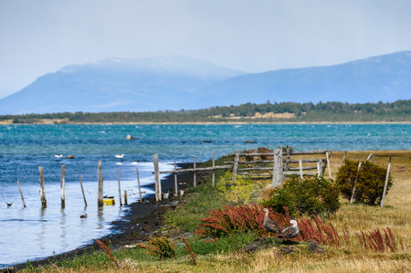 puerto natales: A couple of ducks in Puerto Natales, Patagonia, Chile