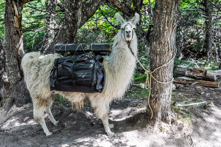cerro fitzroy: A lama, Fitz Roy Walk, El Chalten, Patagonia, Argentina