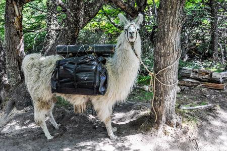 chalten: A lama, Fitz Roy Walk, El Chalten, Patagonia, Argentina