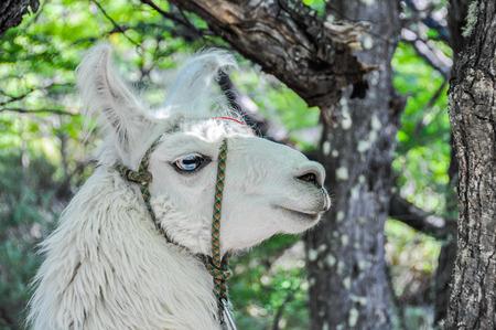 el chalten: A lama, Fitz Roy Walk, El Chalten, Patagonia, Argentina