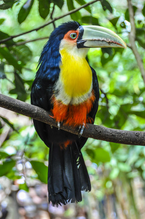 wonders: Colorful tucan at Iguazu Falls, one of the New Seven Wonders of Nature, Brazil