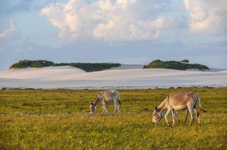 burro: Burros en el parque nacional de Lencois Maranheses, Brasil
