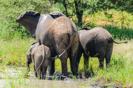 refreshed: Elephants getting refreshed in the Tarangire National Park, Tanzania