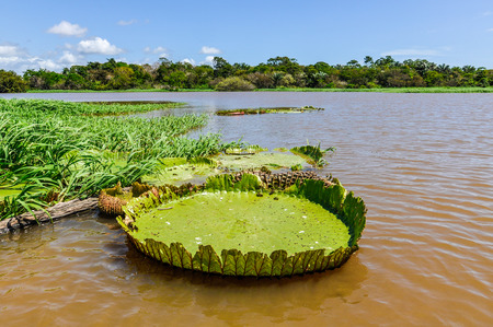 amazon rainforest: Water lilyin the Amazon Rainforest close to Santarem, Brazil