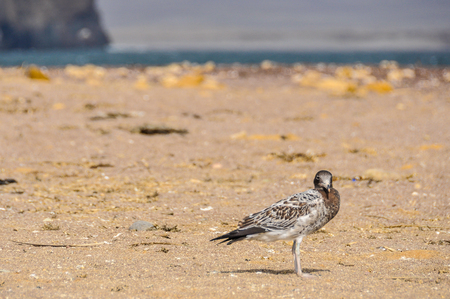 lonely bird: Lonely bird in the Paracas National Reserve on the Pacific coast of Peru Stock Photo