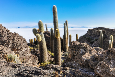 salar de uyuni: Cacti in Salar de Uyuni, the biggest salt flat in the world, Bolivia Stock Photo