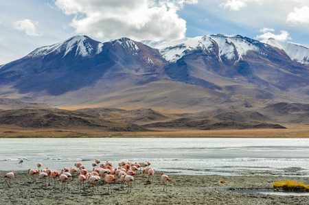 high plateau: Flamingo group in a colorful lagoon in the High Andean Plateau desert in Bolivia