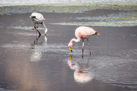 high plateau: Pink flamingos in the High Andean Plateau desert in Bolivia Stock Photo