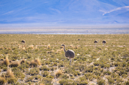 high plateau: Group of rare nando birds in the high Andean plateau in Bolivia Stock Photo
