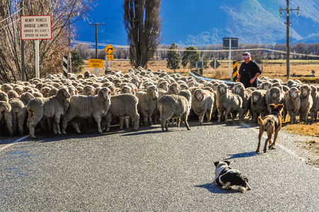 shephard: Shepherd dog help sheep crossing the bridge in Lord of the Rings film location, Glenorchy, New Zealand Stock Photo