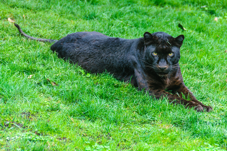 Black panther in an animal-friendly zoo in Valencia, Spain