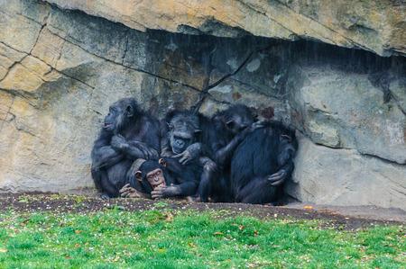 chimpances: Chimpancés en un zoológico con los animales en Valencia, España Foto de archivo