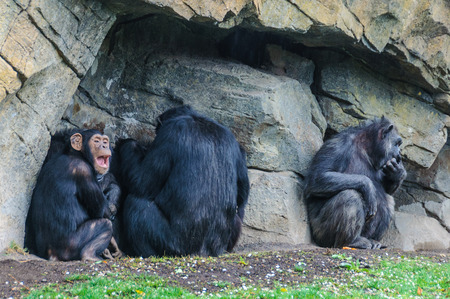 chimpances: Chimpanzees in an animal-friendly zoo in Valencia, Spain Foto de archivo