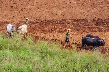 Las personas que trabajan en un campo con animales en el Valle de Viñales en Cuba