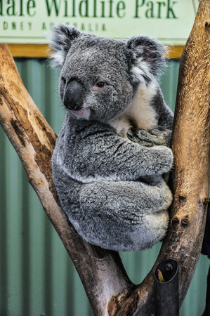 Watching koala in the Featherdale Wildlife Park near Sydney, Australia