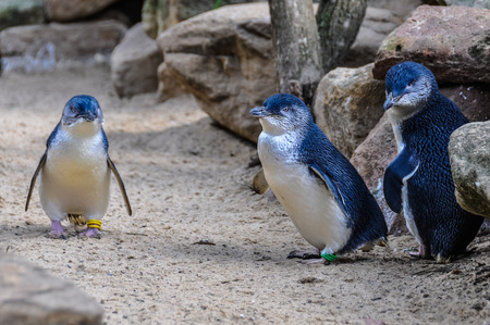 Blue penguins in the Featherdale Wildlife Park near Sydney, Australia