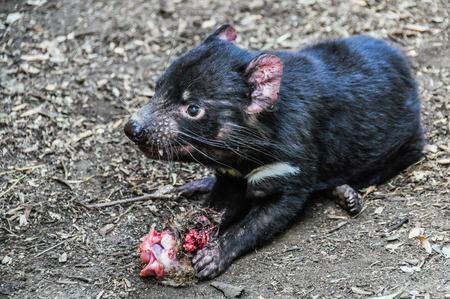 tasmanian: Tasmanian devil in the Featherdale Wildlife Park near Sydney, Australia