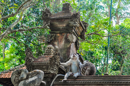 ubud: Macaque in the Hindu temple in Monkey Forest in the town of Ubud, Bali