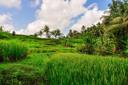 Rice field in Goa Gajah site in Bali, Indonesia Stock Photo