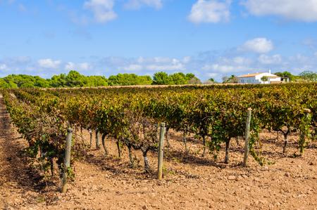 Vineyards in the countryside near Pilar de la Mola in Formentera Island, Spain Stock Photo