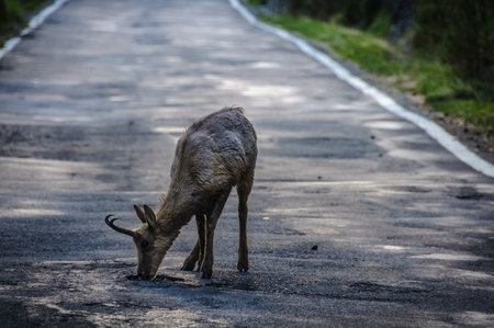 Lonely deer in Ordesa Valley in the Aragonese Pyrenees, Spain Stock Photo