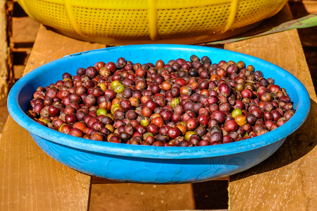 Coffee beans in the Bolaven Plateau, Southern Laos