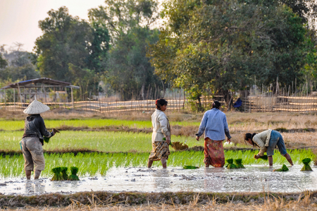 Laotian family working on a rice field in Dong Kong, 4000 Islands on the Mekong, Laos
