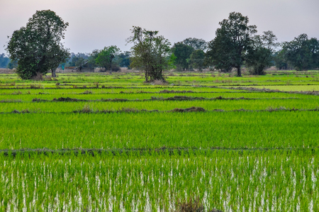 Rice field in Dong Kong, 4000 Islands on the Mekong, Laos Stock Photo