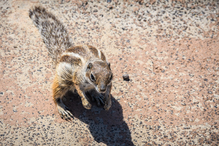 Cute squirrel on Sotavento Beach in Fuerteventura, Canary Islands, Spain Stock Photo
